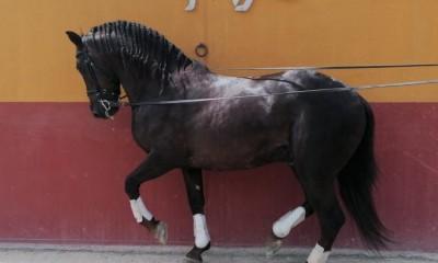 Very baroque 5y/o dark chestnut PRE stallion