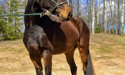 Lupiin, 4yo mare, saddled, excellent temper