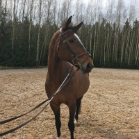 Beautiful mare for showjumping