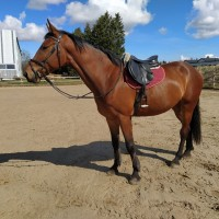 4-year old jumping gelding